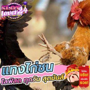 ดูไก่ชนสด วันนี้ แทงไก่ชนออนไลน์ ถ่ายทอดสดไก่ชน